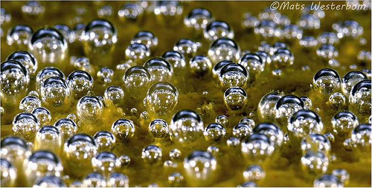 Figure 1 - Bubbles on the seafloor, produced by diatoms and other tiny organisms living in the water.