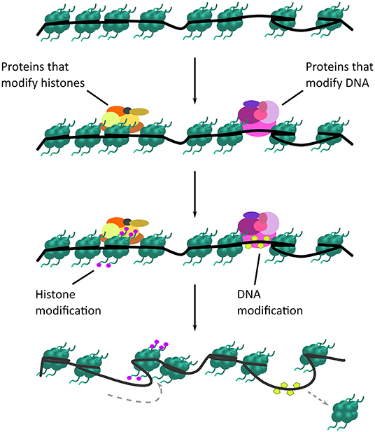 Figure 2 - How chromatin is opened.