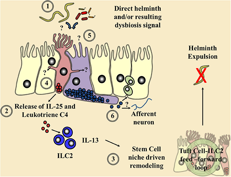helminthiasis hélix)