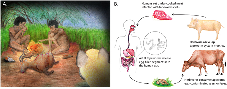 Figure 2 - The ancient acquisition of our tapeworms and the lifecycle of present-day human tapeworms.