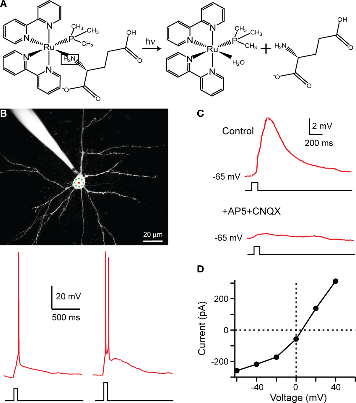 Frontiers Rubi Glutamate Two Photon And Visible Light