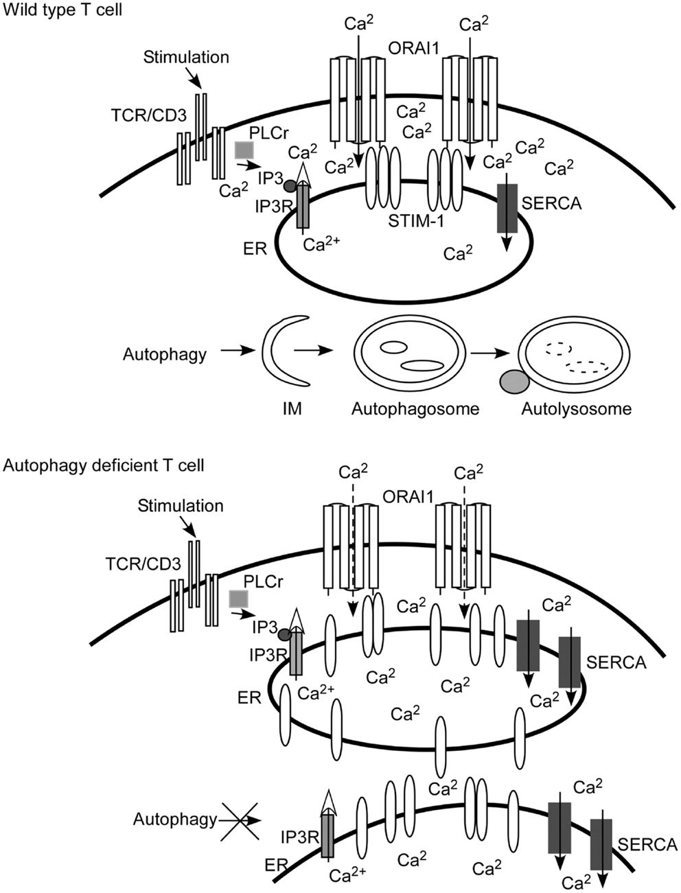 Frontiers Autophagy A Novel Pathway To Regulate Calcium Diagram Motorcycle Engine Art