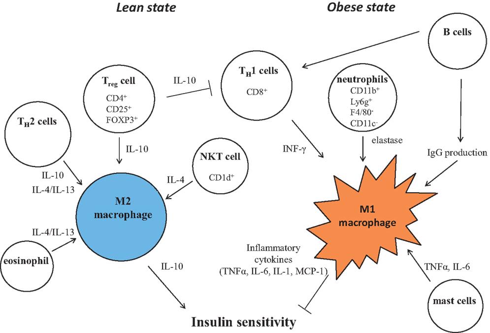 macrophage activation and polarization pdf