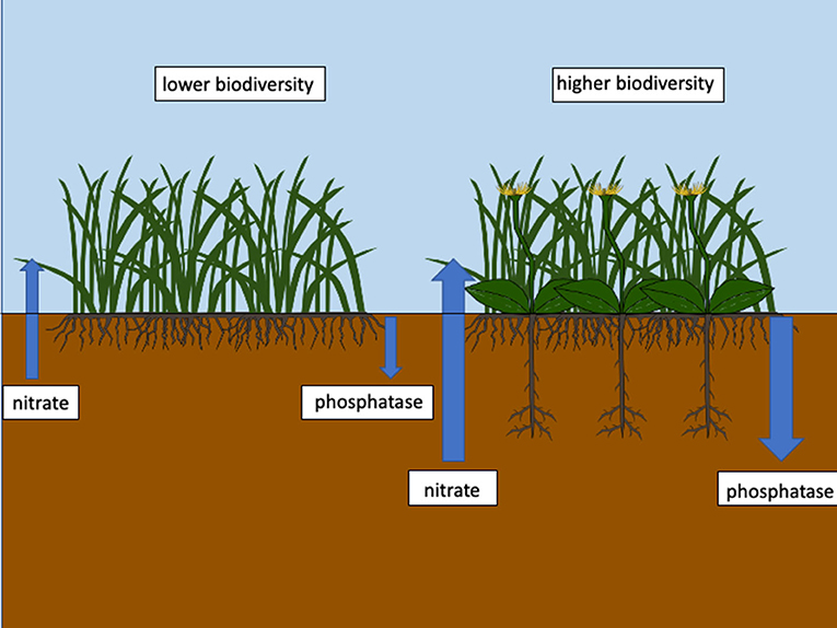Figure 1 - Complementarity between rooting systems in soil systems under higher biodiversity leads to more efficient nutrient cycling.