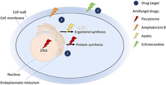 Figure 2 - How common antifungal drugs work.