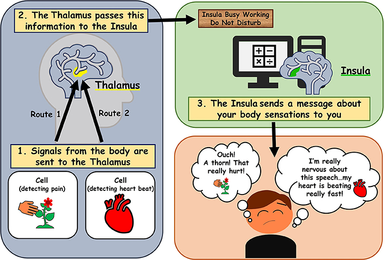 Figure 1 - Simplified example of brain pathways involved in interoception.