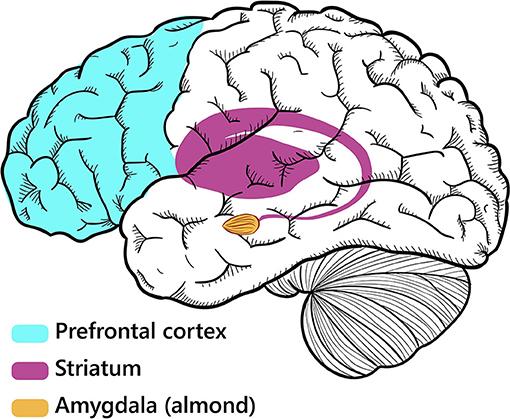 Figure 1 - Three brain regions involved in irritability.