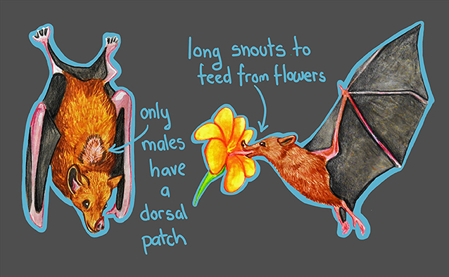 Figure 1 - Agave bats have long snouts and tongues to fed on the nectar of flowers.