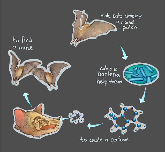 Figure 2 - Bacteria help male agave bats to develop the dorsal patch.