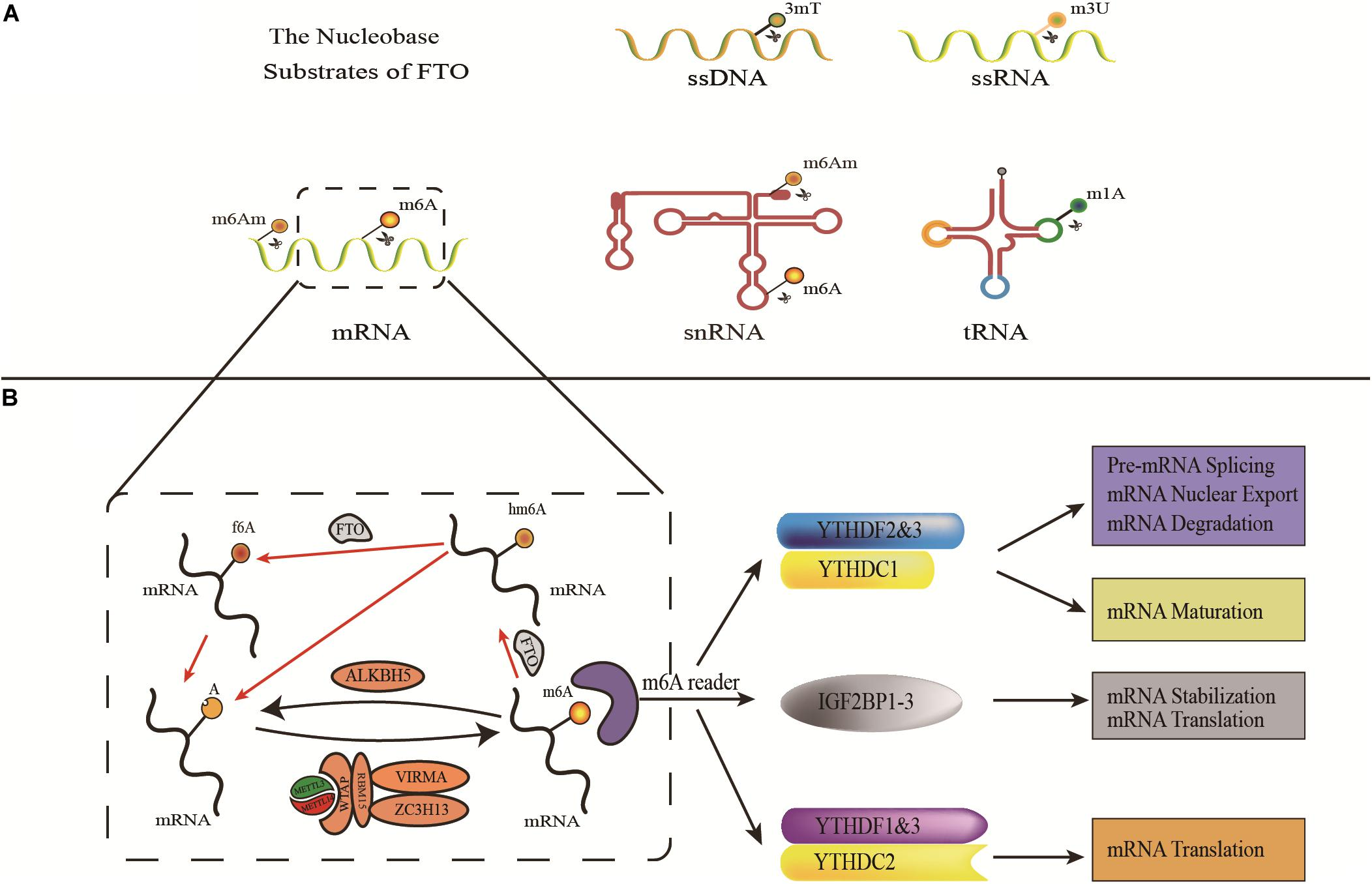 Frontiers Fto A Common Genetic Basis For Obesity And Cancer Genetics