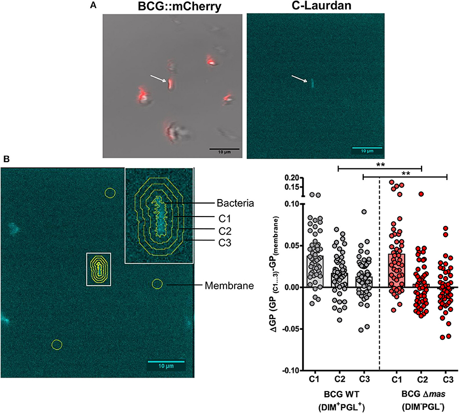 Frontiers Phthiocerol Dimycocerosates From Mycobacterium Tuberculosis Increase The Membrane Activity Of Bacterial Effectors And Host Receptors Cellular And Infection Microbiology