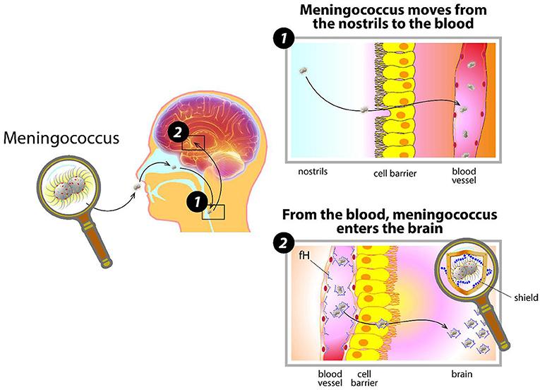 Figure 1 - How meningococcus invades the body.