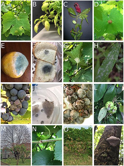 Figure 3 - Symptoms caused by fungi.
