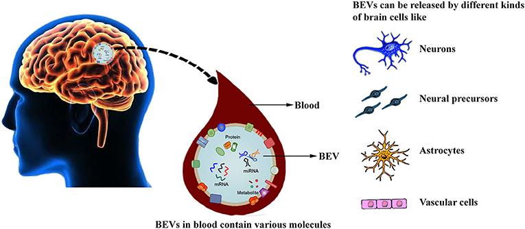 Figure 3 - Brain-secreted extracellular vesicles.