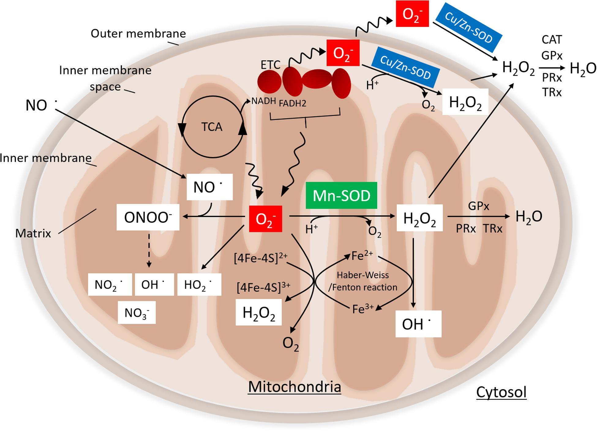 manganese superoxide dismutase