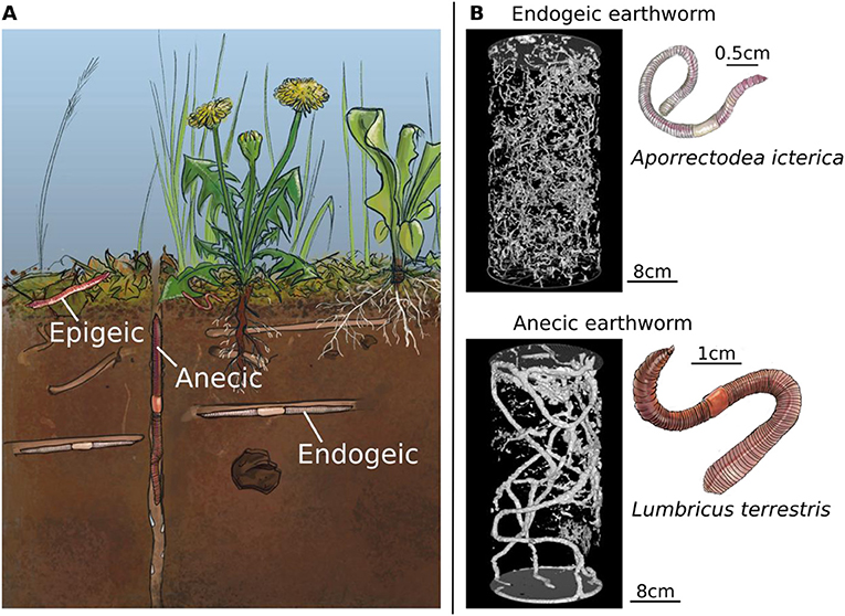 Figure 1 - (A) The three main groups of earthworms, epigeic, anecic, and endogeic.