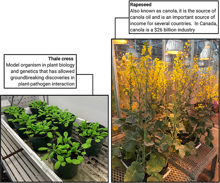 Figure 1 - Two important plant hosts susceptible to clubroot: thale cress and rapeseed.