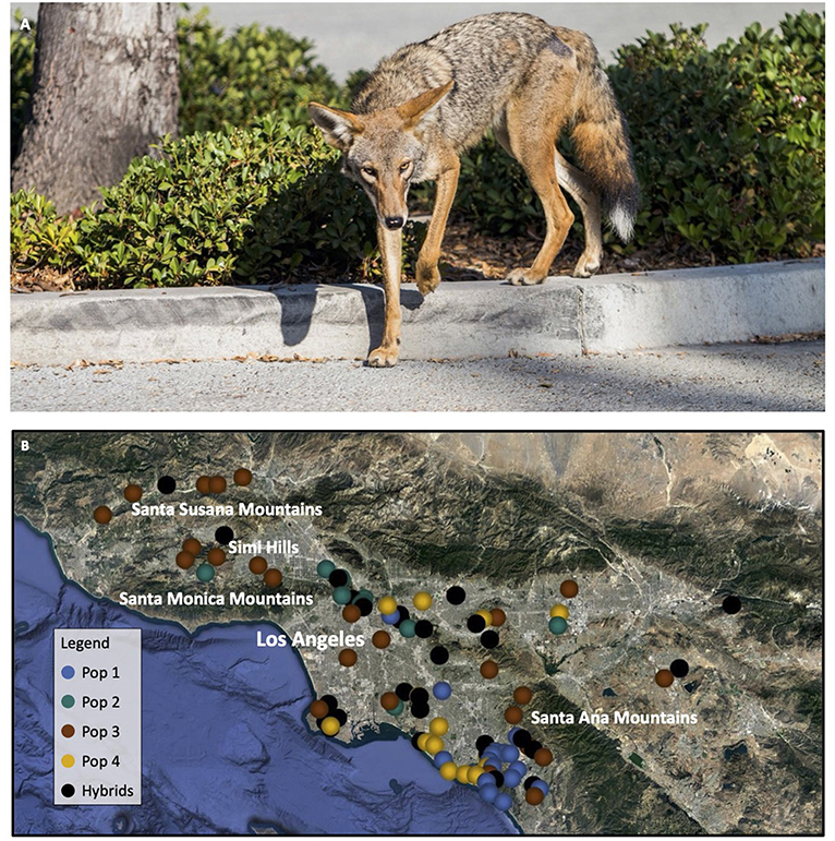 Figure 1 - (A) A coyote living in an urban area in Los Angeles, California.