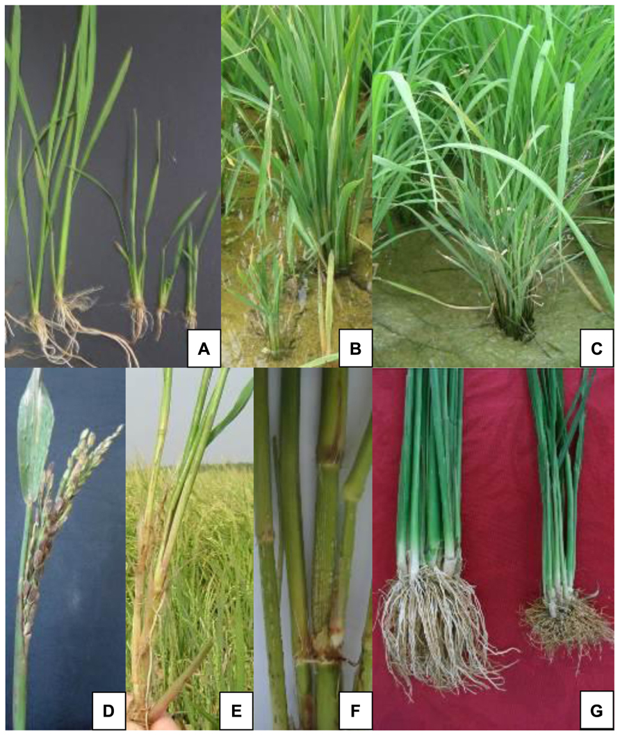 Frontiers | Southern rice black-streaked dwarf virus: a white-backed