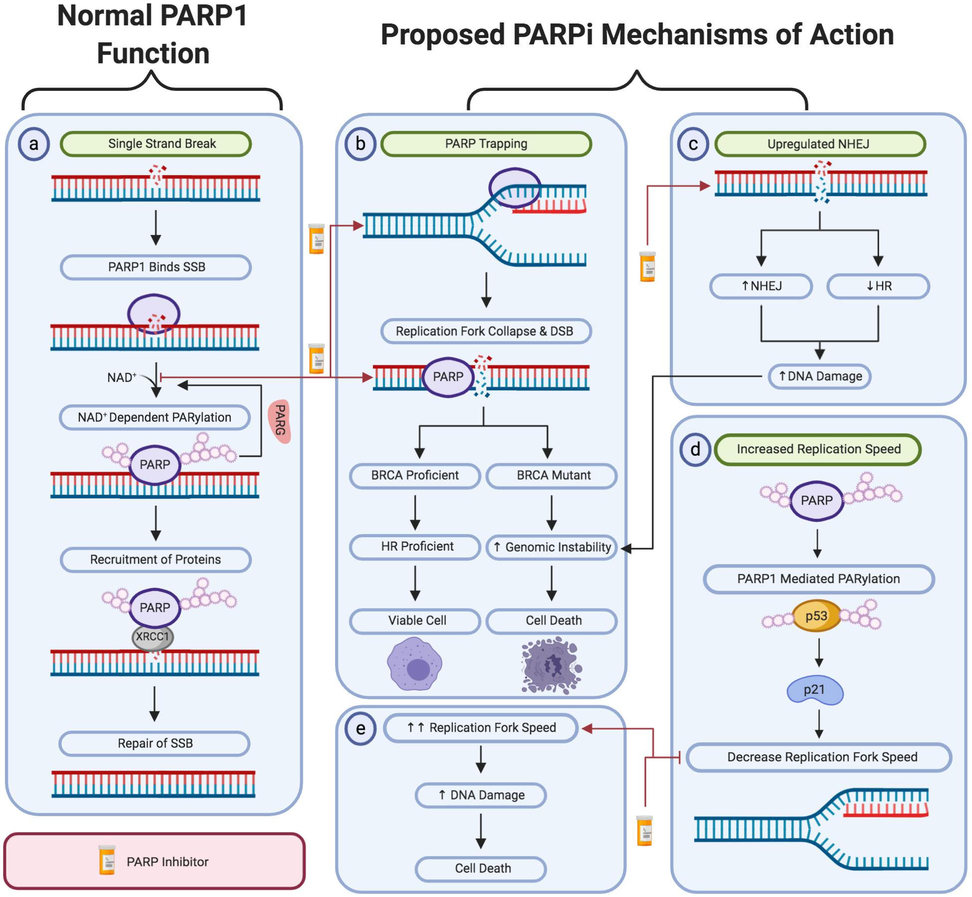 Frontiers Parp Inhibitors Clinical Relevance Mechanisms Of Action And Tumor Resistance Cell And Developmental Biology