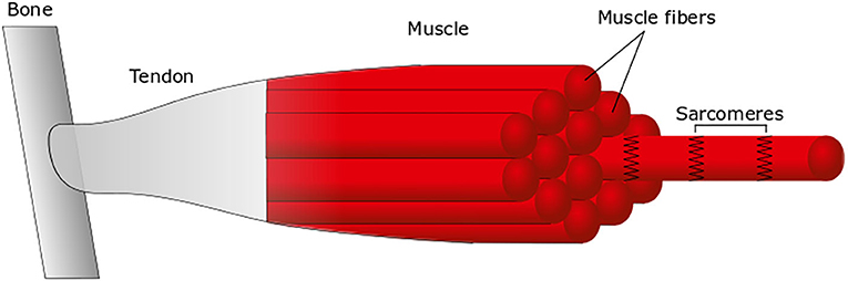 Figure 2 - The main components of a muscle.