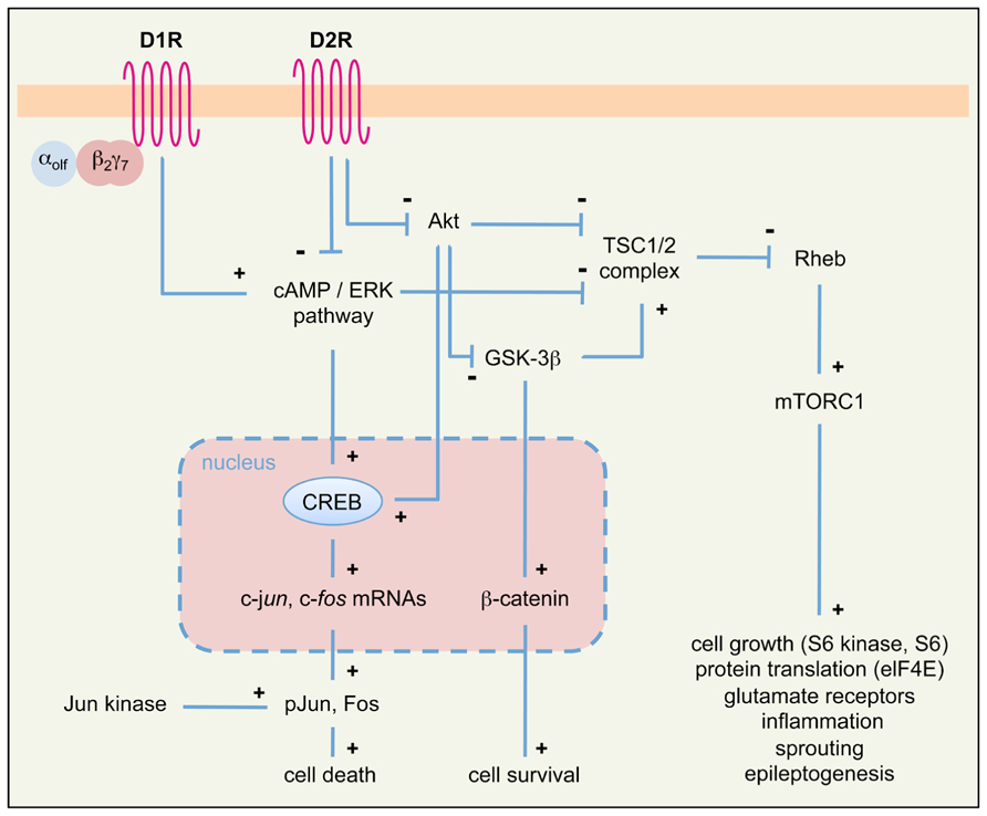 Frontiers the role of dopamine signaling in epileptogenesis frontiersin ccuart Image collections