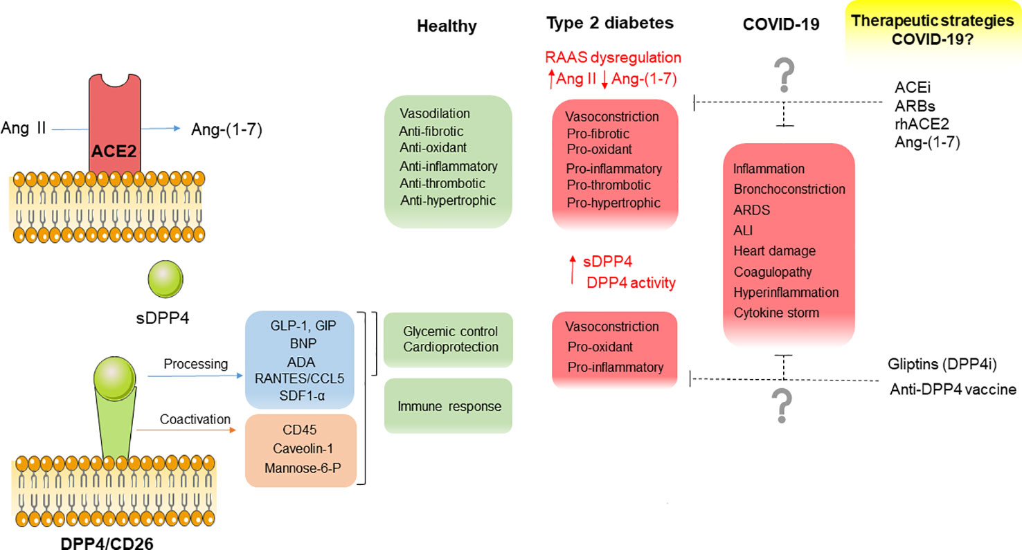 Frontiers Dpp4 And Ace2 In Diabetes And Covid 19 Therapeutic Targets For Cardiovascular Complications Pharmacology