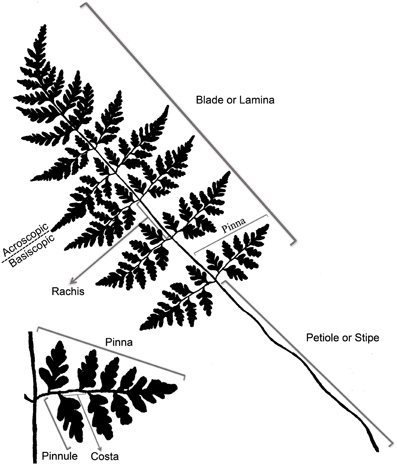Frontiers The Evolution Morphology And Development Of Fern