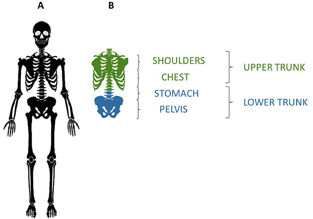 Figure 1 - (A) The human skeleton.