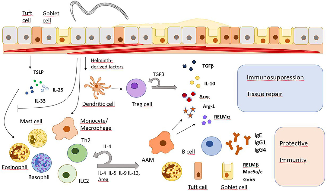 Helminth immune modulation. Helminth diseases examples, Helminth infection cells