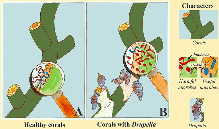 Figure 3 - Comparison of corals with and without Drupella.