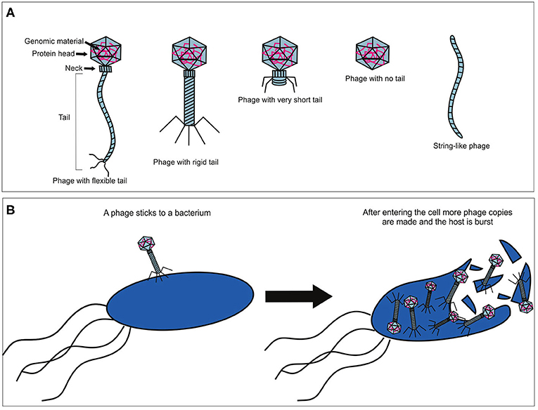 Figure 1 - Diversity of phages and how they attack bacteria.