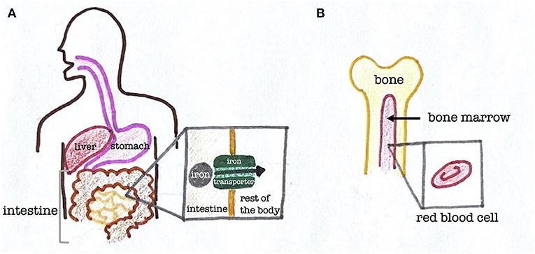 Figure 2 - The path iron takes through the human body.