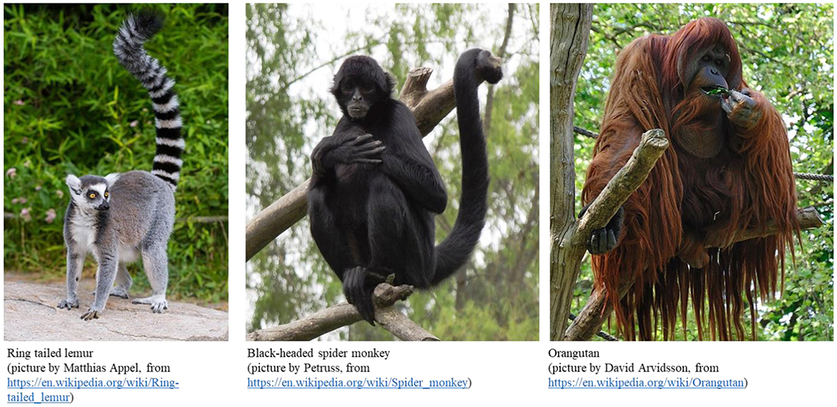 Figure 1 - Examples of primates—a lemur, a monkey, and a great ape.