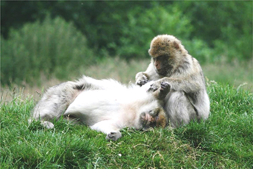 Figure 2 - Two adult female Barbary macaques involved in a grooming session.