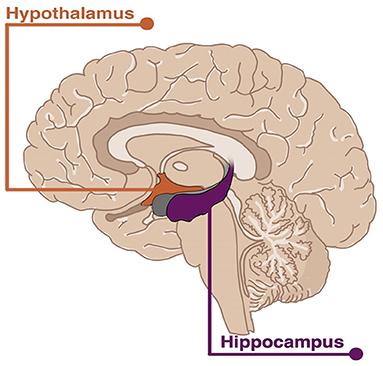 Figure 1 - The human brain.
