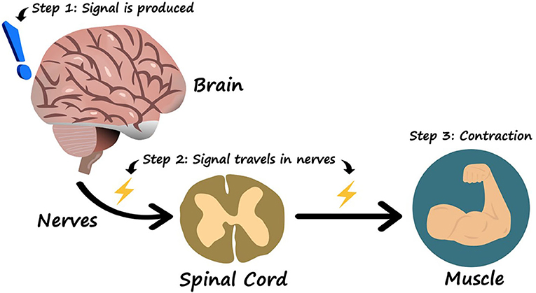 Figure 1 - How the brain controls the muscles.