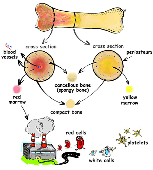 Figure 1 - Bones contain an inner, spongy type of bone called cancellous bone, surrounded by a denser bone called compact bone.