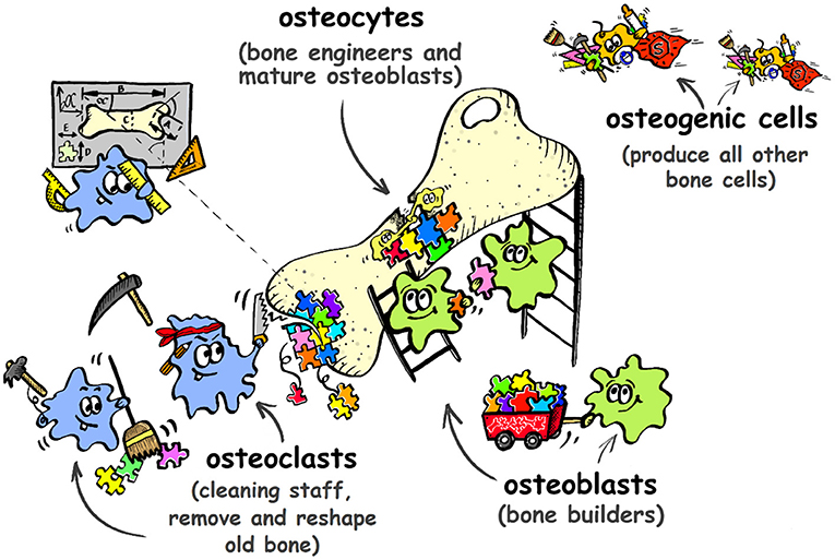 Figure 2 - There are four types of specialized bone cells that work together as a team to help repair bones after a fracture.