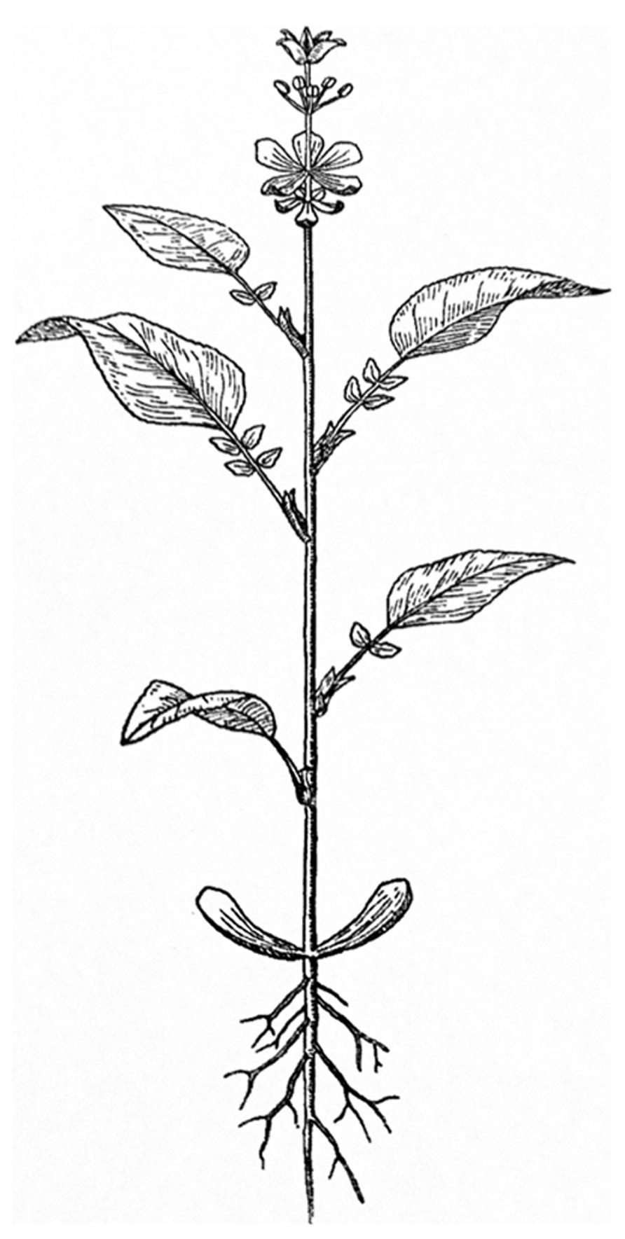 Frontiers heterochronic genes in plant evolution and development frontiersin ccuart Gallery