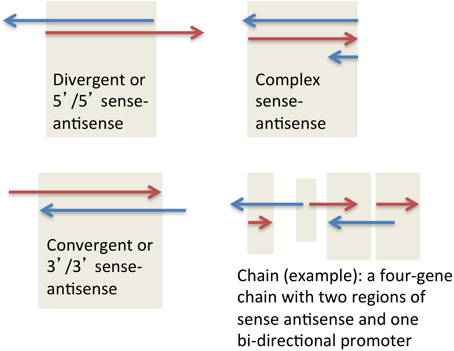 Frontiers | Sense-antisense gene pairs: sequence