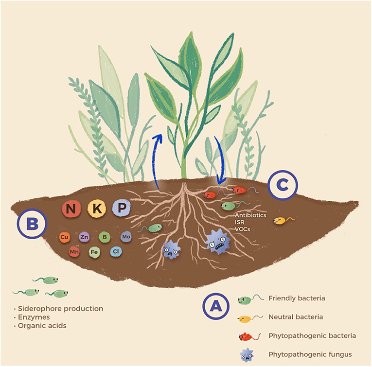 Figure 1 - (A) Relationships between bacteria and plants can be helpful to the plant, harmful to the plant, or neutral.