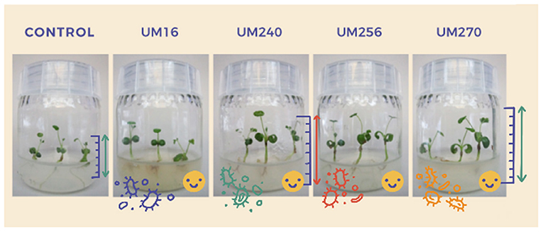 Figure 2 - The control flask (left) contains a Medicago truncatula plant growing without any added bacteria.