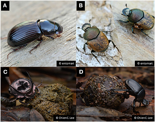 Figure 1 - Examples of dung beetles in temperate and tropical environments.