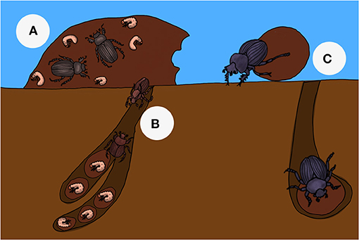 Figure 2 - Three different nesting strategies used by dung beetles.