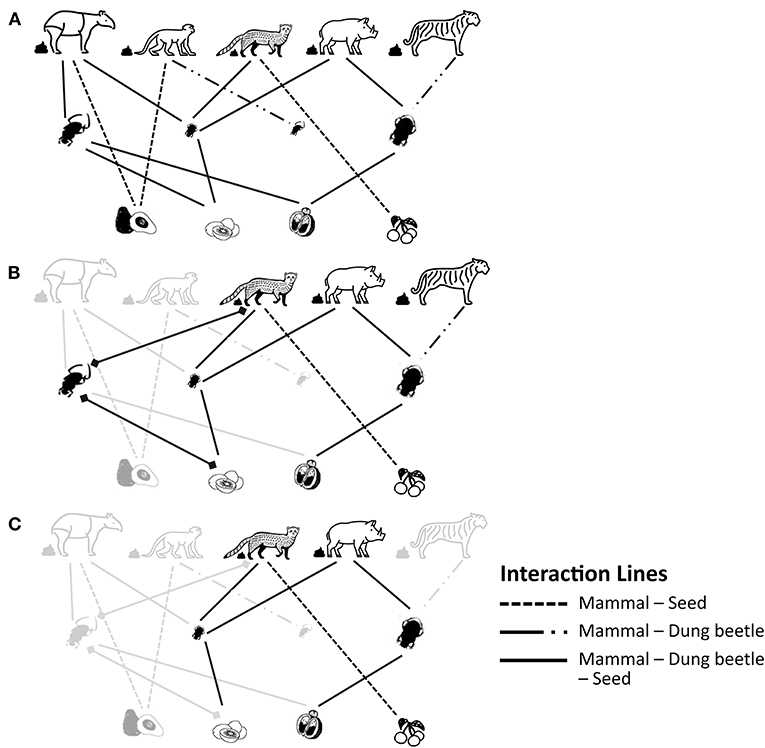 Figure 3 - Simplified interactions among mammals, dung beetles, and seeds in (A) an undisturbed ecosystem, (B) a moderately disturbed or fragmented ecosystem, and (C) a heavily disturbed or fragmented ecosystem.
