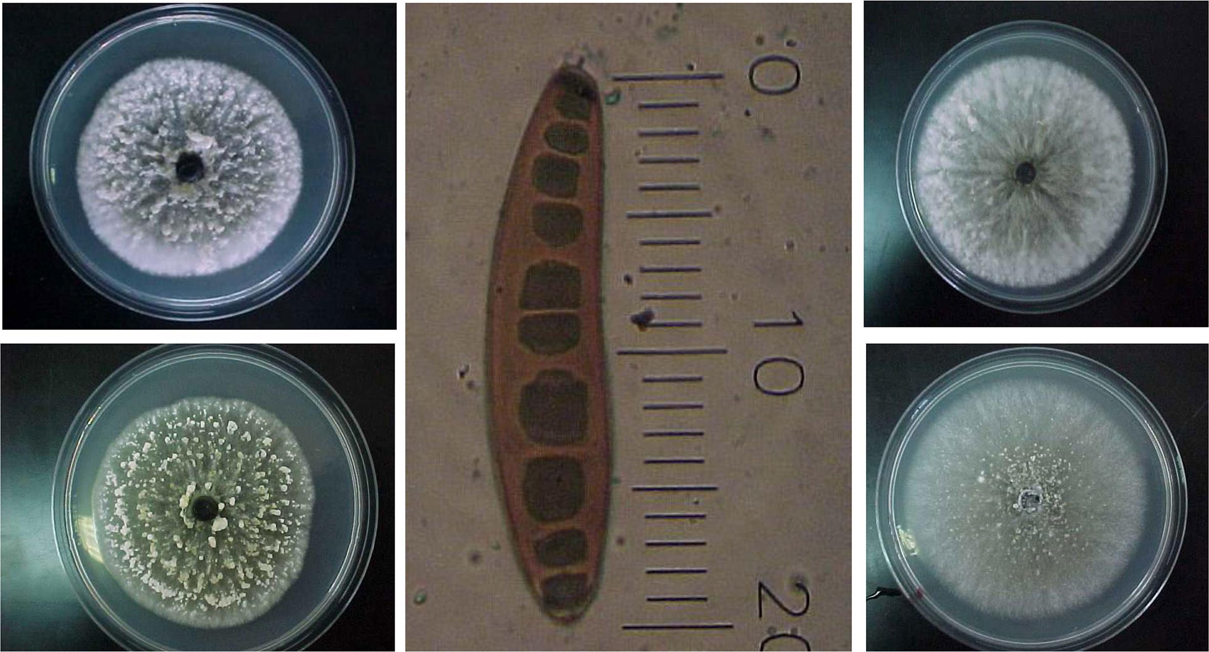helminthosporium sorokiniana helmint fertőzés aránya