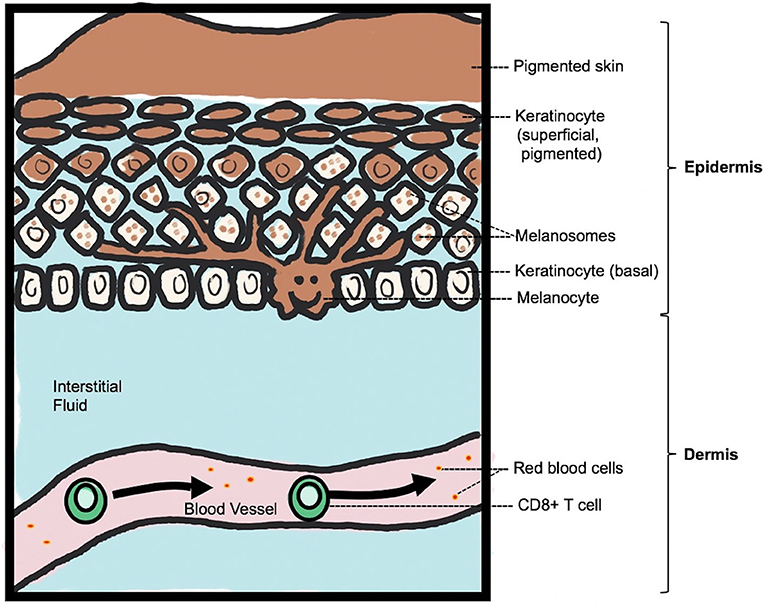 Figure 1 - Normal skin structure and pigmentation.