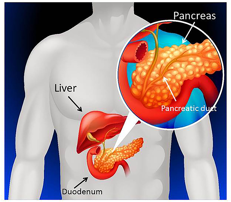 Figure 1 - The pancreas is located next to the stomach, liver, and small intestine.