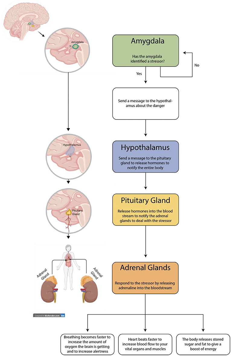 Figure 1 - The stress response begins when the brain recognizes a stressor.